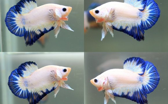 1+ images about Betta on