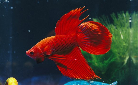 900x602 Red Fighting Fish