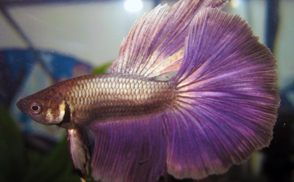 1+ images about Beta Fish