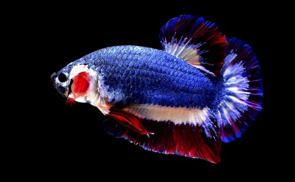 Thai Fighting Fish with