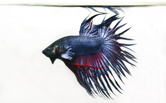 Betta Care Sheet — Pet Pacific