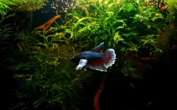 HM DUMBO FEMALES Betta