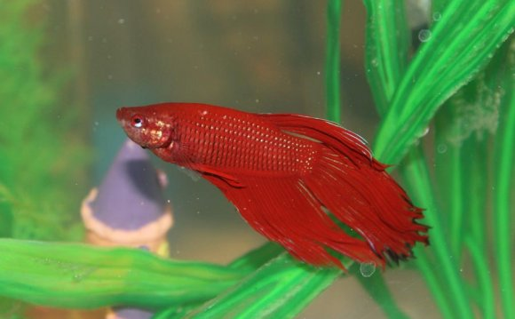 Betta Fish and Aquarium Salt