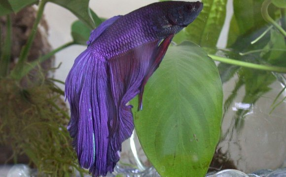 Betta Fish Pictures