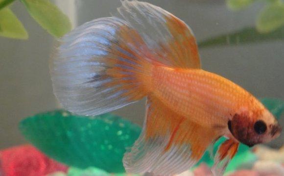 Betta fish awareness day betta