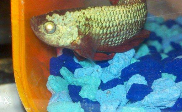 Eyes cambodian betta fish