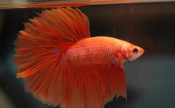 Betta fish for beginners 2796