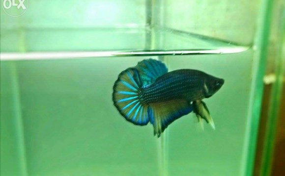 For Sale: SHOW QUALITY BETTA