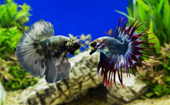 Betta Fish - Pisces Reef Fish