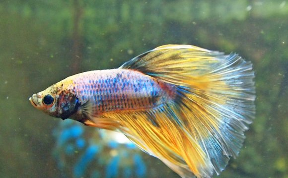 Of a healthy betta fish