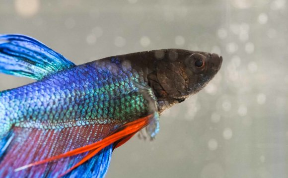 + What does my Betta eat and