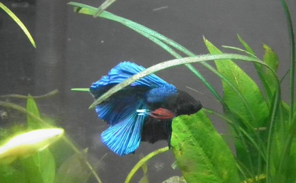 Double-tailed male Betta