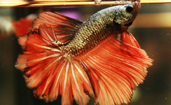 Red Cooper Feather Tail Betta