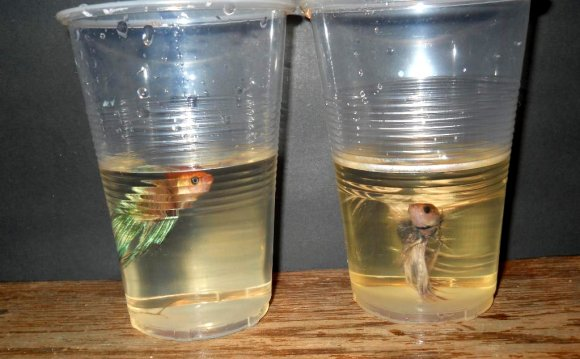 Bettas can survive in small