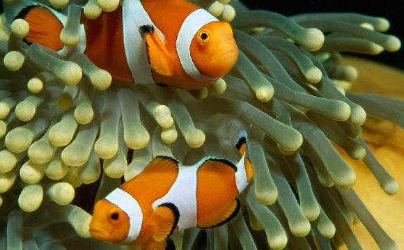 The colorful clown anemonefish