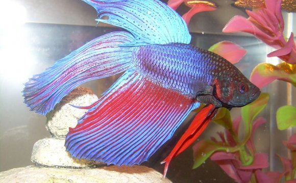 Siamese_fighting_fish1