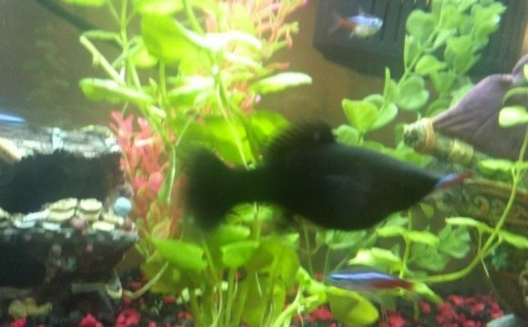 I have a black female molly