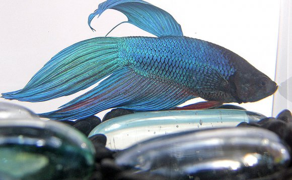 Blue Fighter Fish by