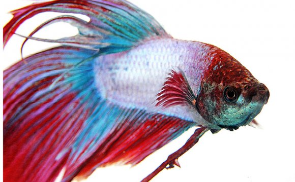 Fighter Fish Photos