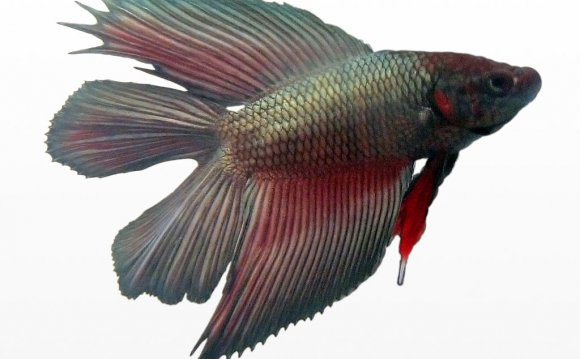 File:Betta splendens male