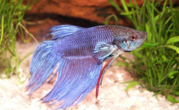 File:Kampffisch betta