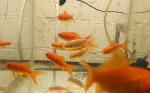 How To Breed Comet Goldfish