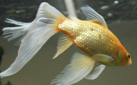 Gold fish mermaid tail 53 by