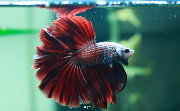 Google, Red and Betta fish on