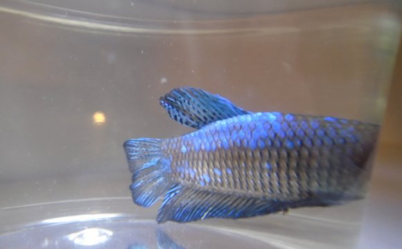 Plakat Betta Care Male