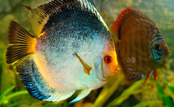 Haraldi discus blue brown