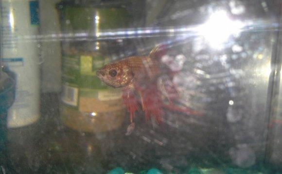 Hi My Betta Fish Is Getting