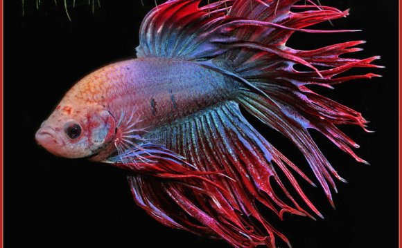 CROWN TAILED BETTA