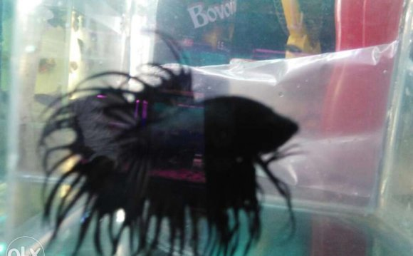 Imported black crown betta