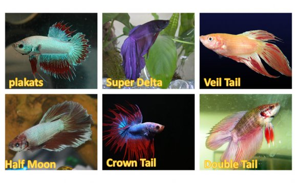 Betta requires very less