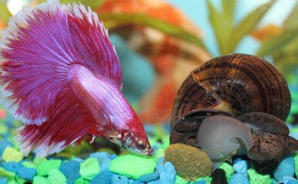 Lavender halfmoon betta fish