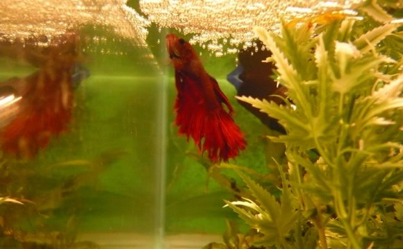 Male Crowntail betta making