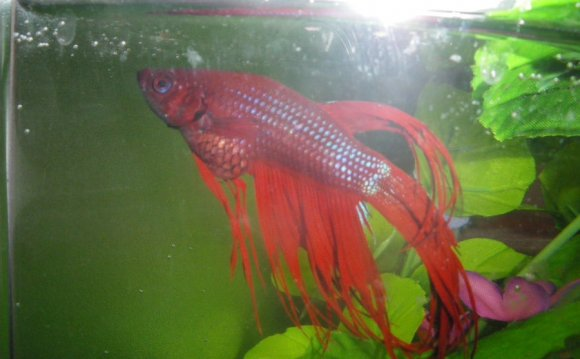 Signs Of A Sick Betta