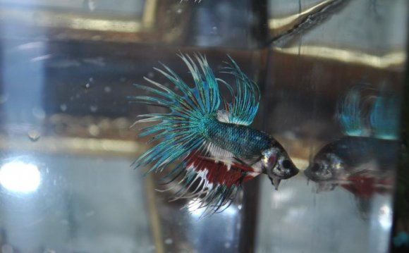 Crowntail Breeding Pair: