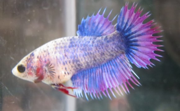 Crowntail Betta Fish Female Iv