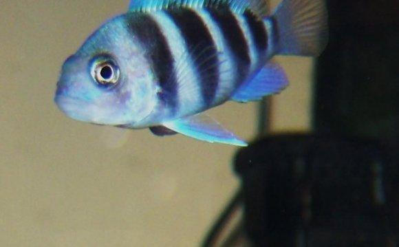 Petco fish frontosa coloring