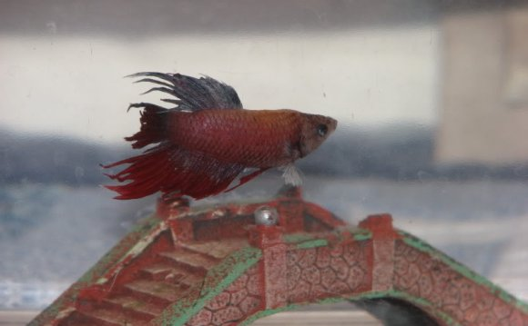 He is a crowntail betta that a