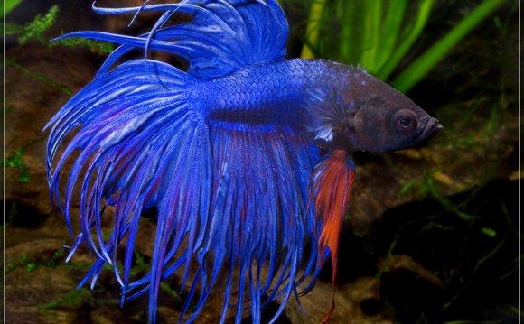 Pink Betta Fish Hd Sapphire