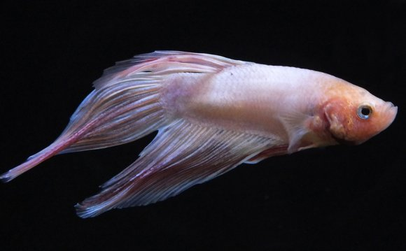 Pink Siamese fighting fish