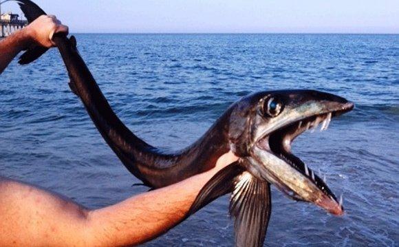 Rare, fanged lancet fish