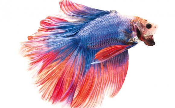 Siamese fighting fish, Setting