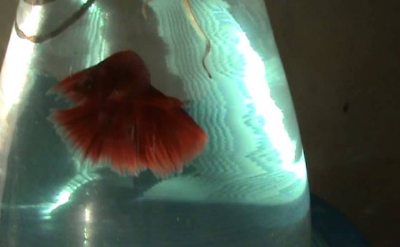 Siamese fighting fish - IKAN