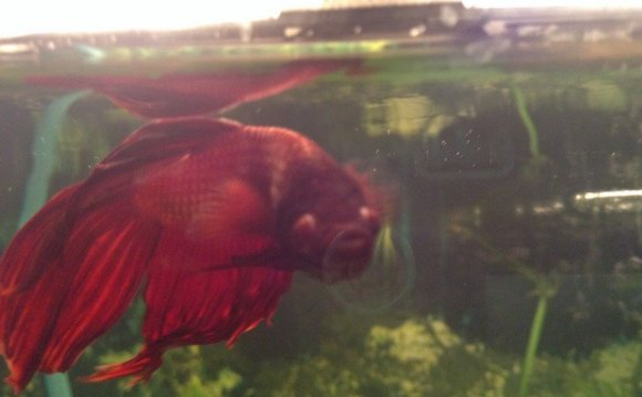 The Sad Truth On Betta Fish In