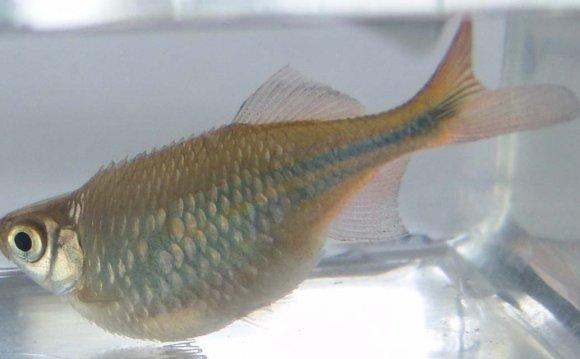 #22 Pregnant Zebra Danio Fish