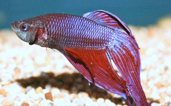 Or Siamese Fighting Fish