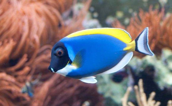 Weisskehldoktorfisch